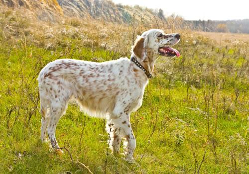 english-setter-dog-7.jpg